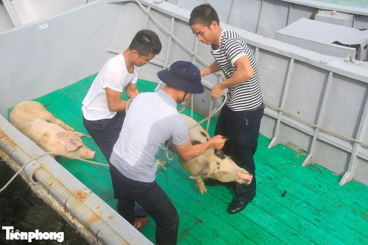 Năm Hợi, xem ảnh những chú lợn ỉn ở Trường Sa - ảnh 4
