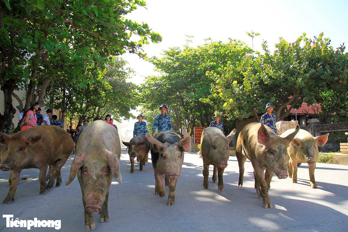 Năm Hợi, xem ảnh những chú lợn ỉn ở Trường Sa - ảnh 1