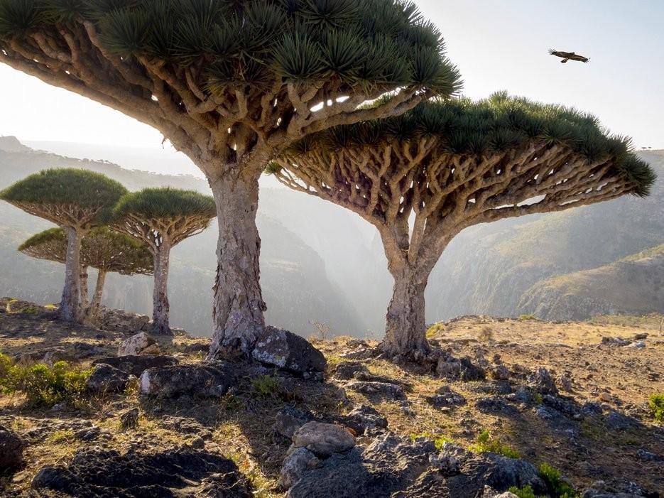 Socotra, Yemen: Những tán cây có hình dáng của vật thể bay lạ khiến Scotra trông như cảnh tượng ở hành tinh khác được mang xuống trái đất.