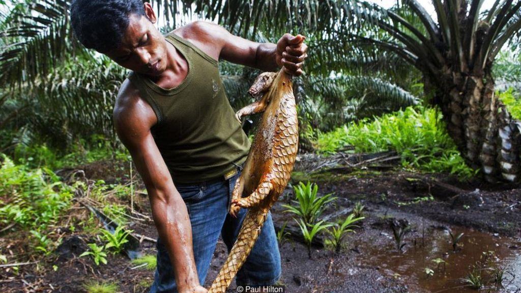 Một kẻ săn trộm gỡ vảy tê tê sau khi nhúng con vật vào nước sôi. Thịt và vảy tê tê sẽ được đem bán ra thị trường chợ đen