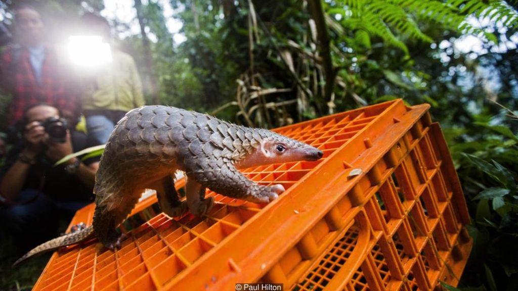 Tê tê được cho là loài động vật có vú bị buôn lậu nhiều nhất
