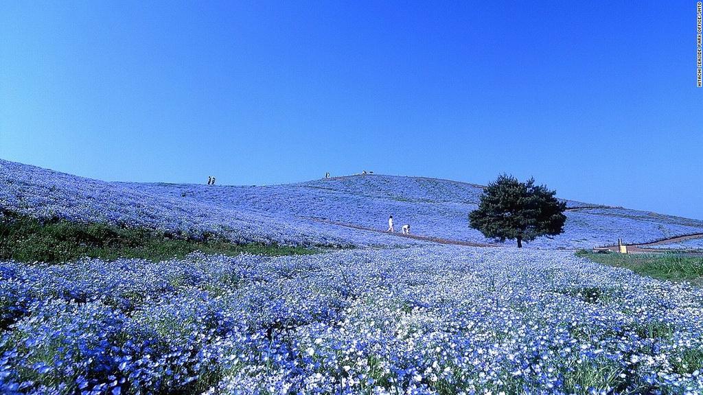 Công viên Hitachi Seaside (Ibaraki): Hơn 4 triệu bông hoa Nemophila bừng nở từ cuối tháng 4 tới tháng 5 ở công viên Hitachi Seaside nằm trên đồi Miharashi tạo ra khung cảnh lãng mạn có một không hai trên thế giới.