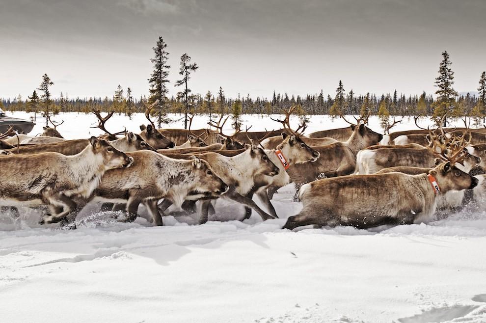 """Trong suốt mùa đông, những cánh đồng tuyết ở rừng Lapland, Thụy Điển, bạn sẽ được chiêm ngưỡng những chú tuần lộc, nai sừng tấm đạp chân trên tuyết giống như mô tả trong câu chuyện cổ tích """"Nữ hoàng băng giá"""" của Andresen."""