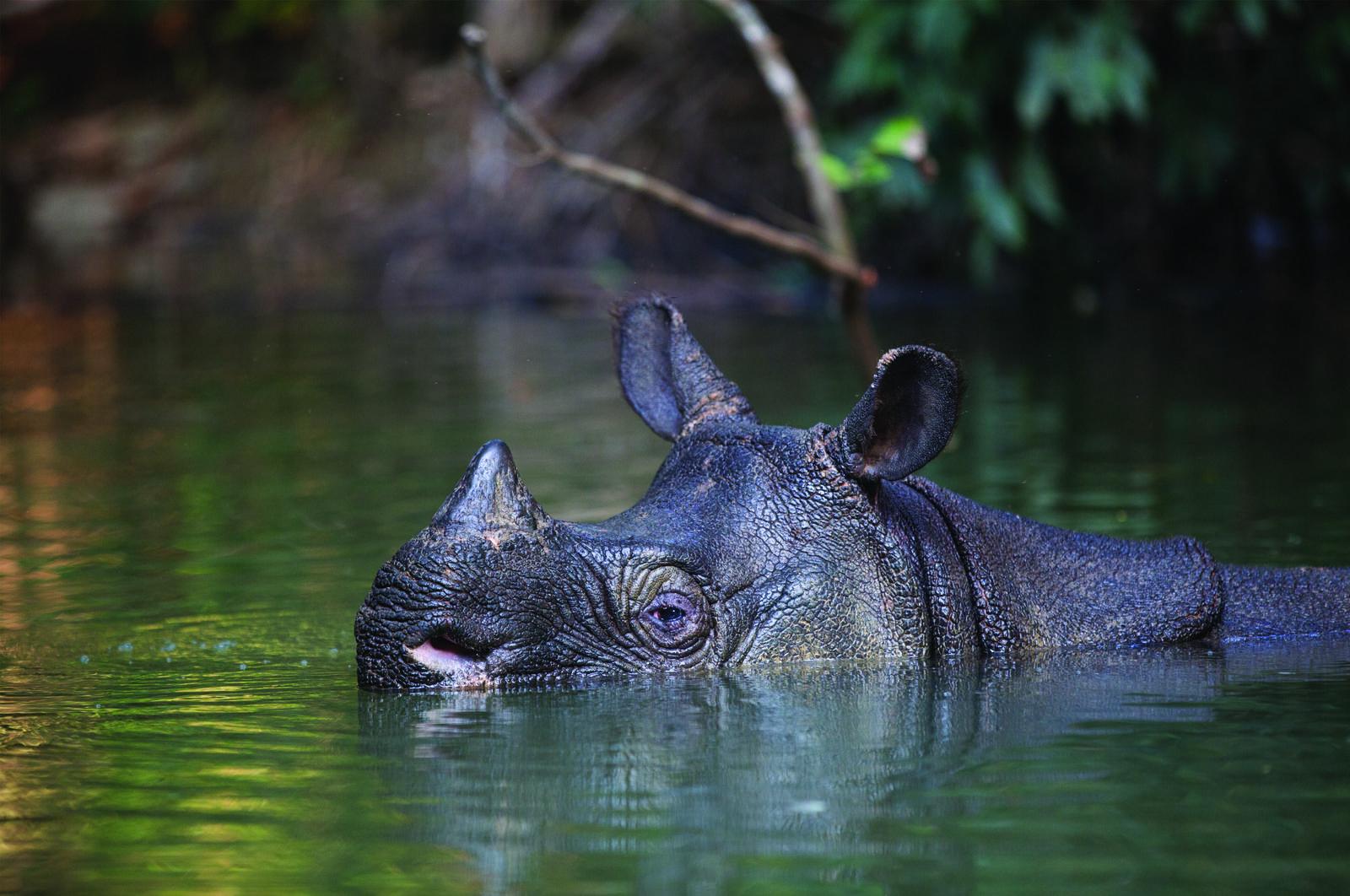 Bài học cay đắng từ thất bại trong việc bảo tồn loài tê giác Java tại Việt Nam