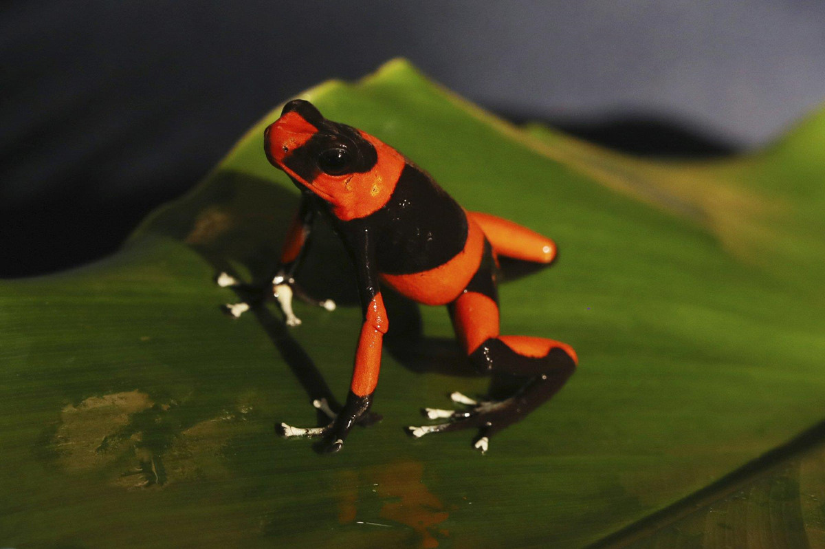 Chùm ảnh: Colombia nhân giống ếch quý hiếm để chiến đấu với nạn buôn lậu