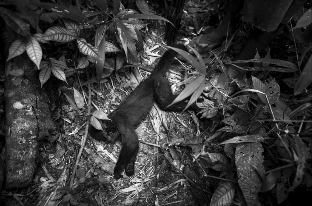 """Theo Survival International, một tổ chức phi chính phủ bảo vệ các bộ lạc thiểu số trên thế giới, khỉ hoang dã là """"thú cưng"""" của bộ lạc Awa, nhưng cũng là một nguồn thức ăn của họ."""