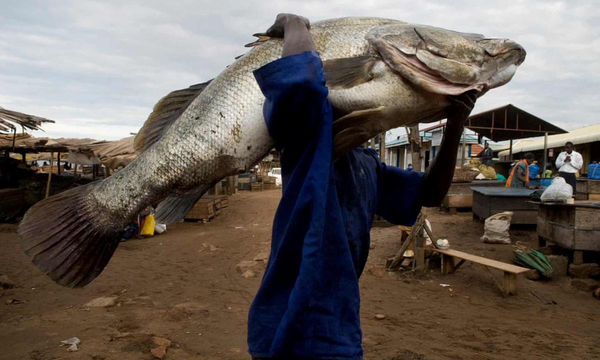 Chùm ảnh: Cá rô sông Nile trước nguy cơ tuyệt chủng vì nhu cầu từ Trung Quốc