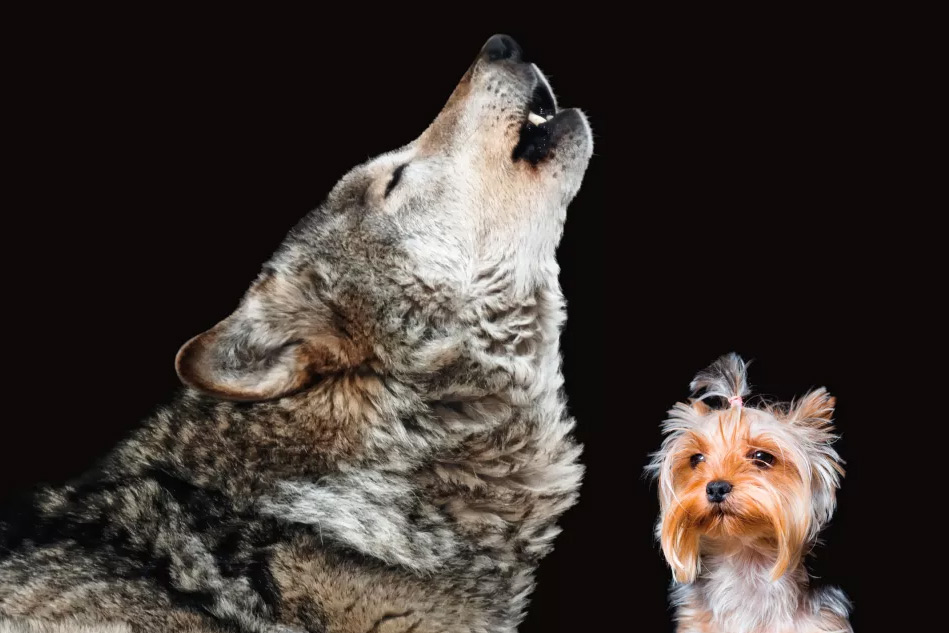 Du học sinh Việt Nam: Bạn là chó sói hay chó nhà?