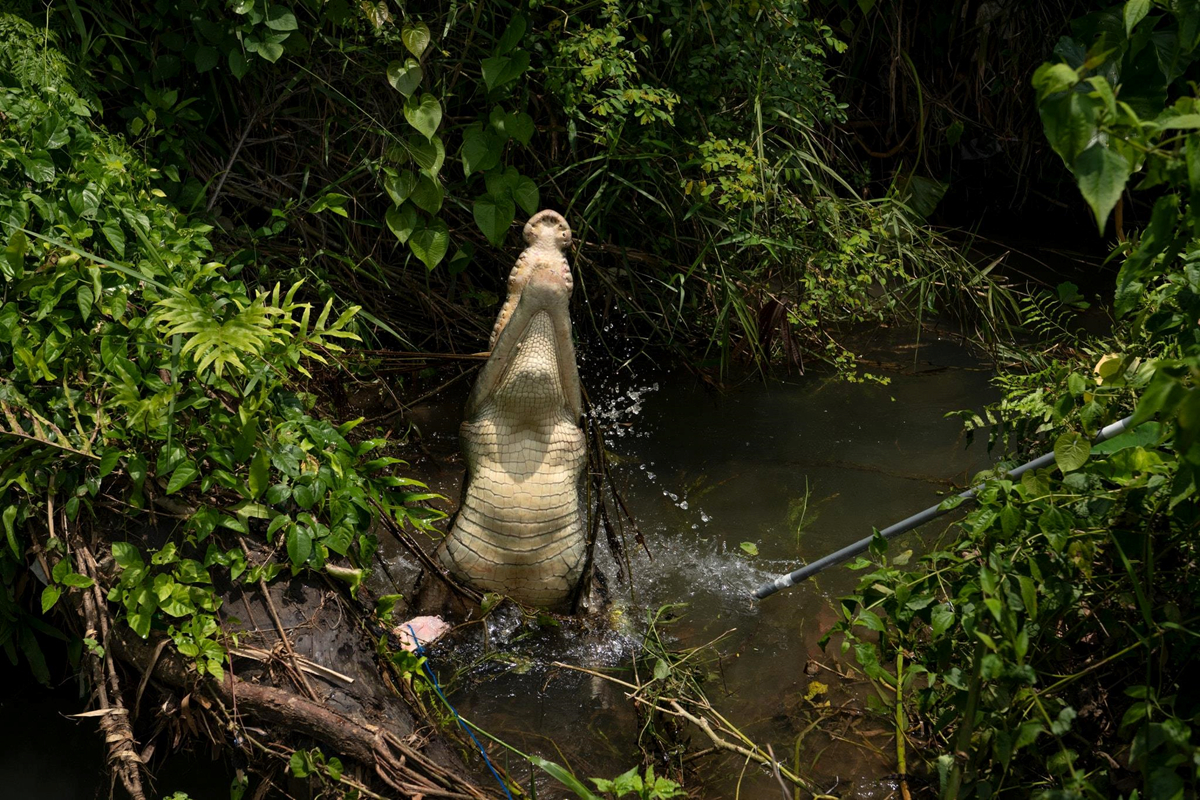 Chùm ảnh: Nỗi ám ảnh chết chóc từ loài cá sấu ở Đông Timor