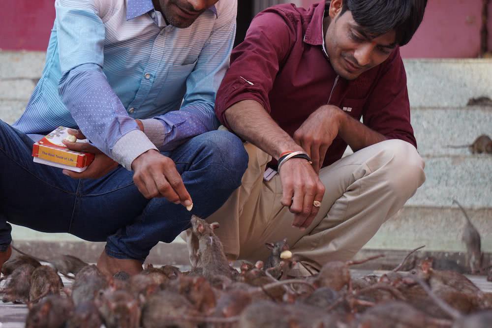 Chùm ảnh: Thăm đền thờ nuôi 25.000 con chuột ở Ấn Độ