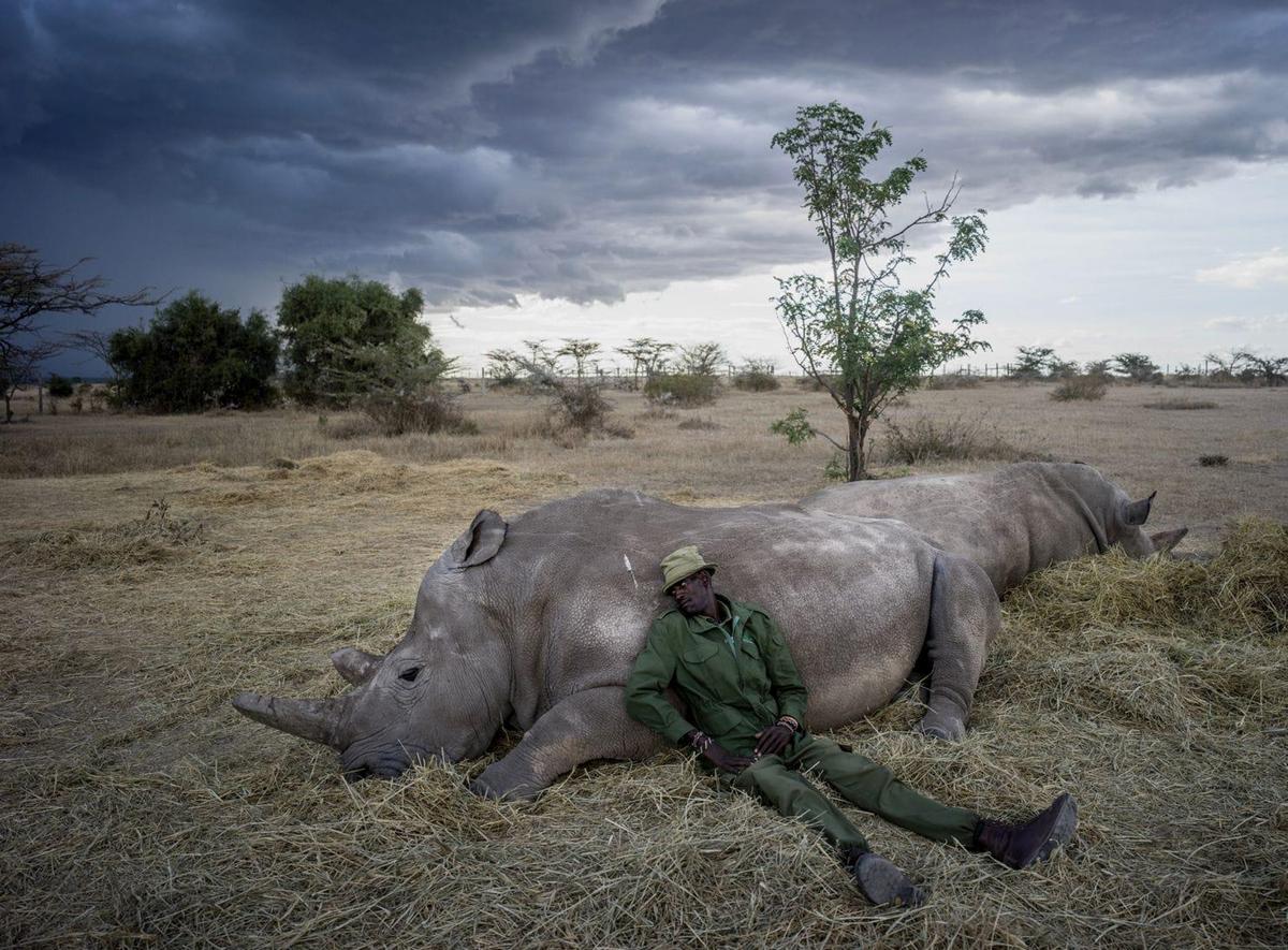 Chùm ảnh: Cuộc sống trong vòng bảo vệ 24/24 của hai con tê giác trắng cuối cùng