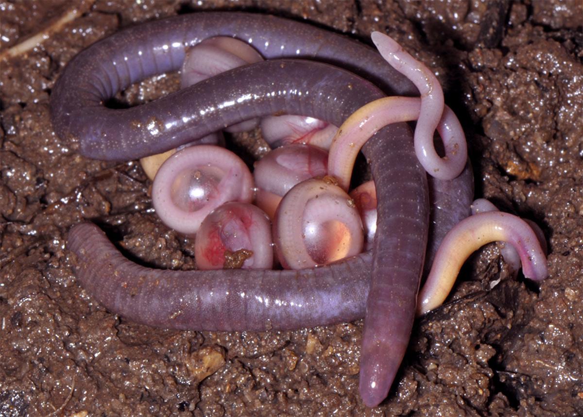 Chùm ảnh: Con vật lai tạp ếch – rắn – giun siêu 'dị' ở Việt Nam