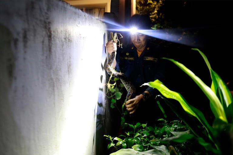 Chùm ảnh: Bắt rắn – công việc chính của lính cứu hỏa Bangkok