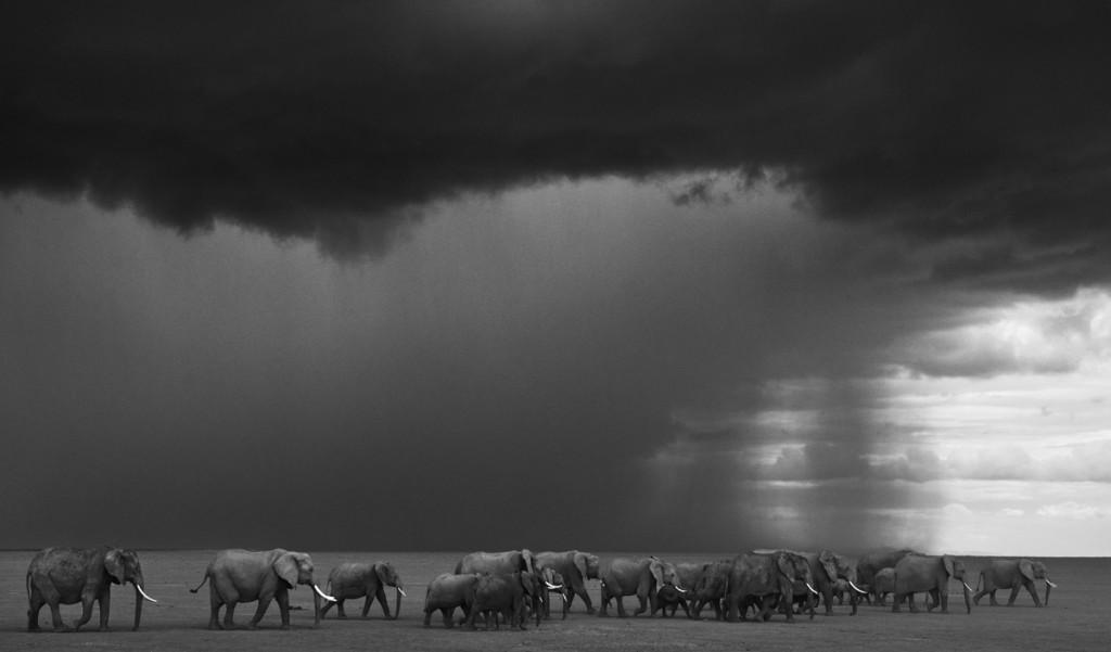 Mây đen phủ kín bầu trời khi đàn voi di chuyển trên đáy cạn khô của hồ Amboseli ở Kenya.