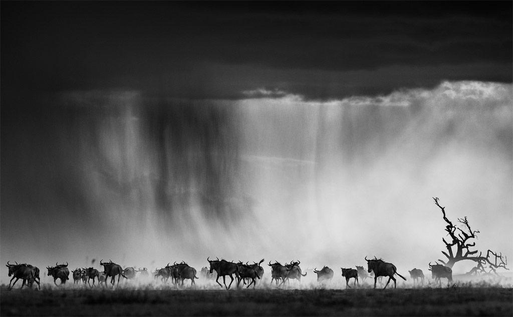 Hình ảnh đàn linh dương đầu bò di cư ở Kenya được nhiếp ảnh gia David Yarrow ghi lại từ trên trực thăng.