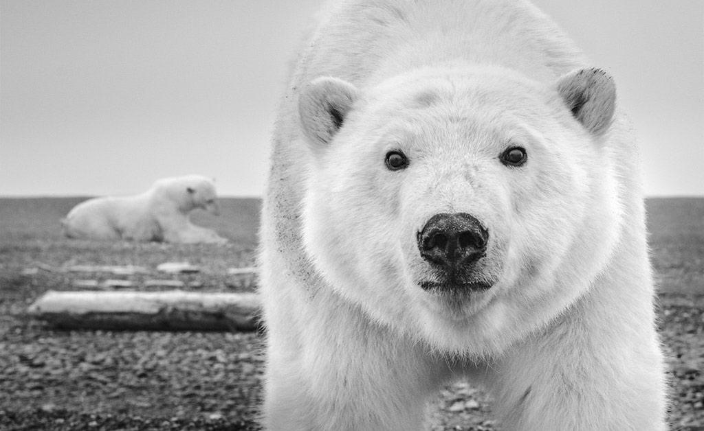 Gấu bắc cực tò mò trước ống kính camera của nhiếp ảnh gia David Yarrow trên đảo Barter ở ngoài khơi Alaska, Mỹ.
