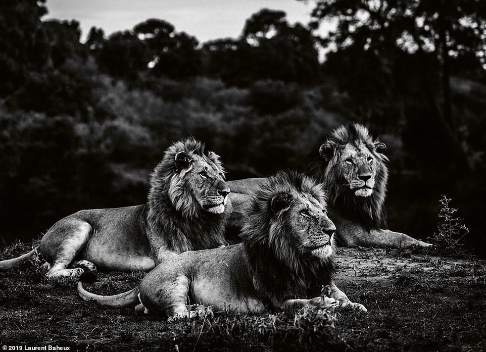 Bộ ảnh đen trắng tuyệt đẹp về loài sư tử của Laurent Baheux