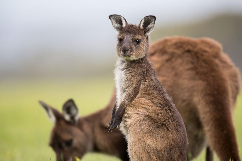 Nghich ly kangaroo - bieu tuong quoc gia bi de xuat cho len ban nhau hinh anh 6