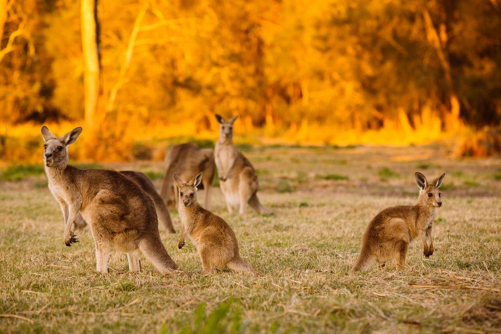 Nghich ly kangaroo - bieu tuong quoc gia bi de xuat cho len ban nhau hinh anh 8