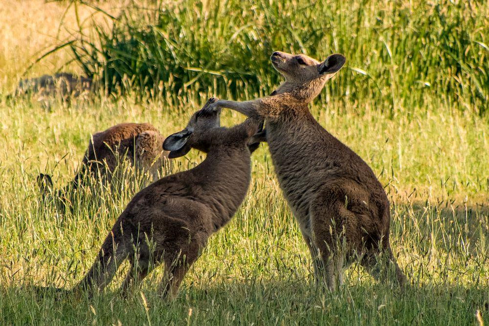 Nghich ly kangaroo - bieu tuong quoc gia bi de xuat cho len ban nhau hinh anh 11