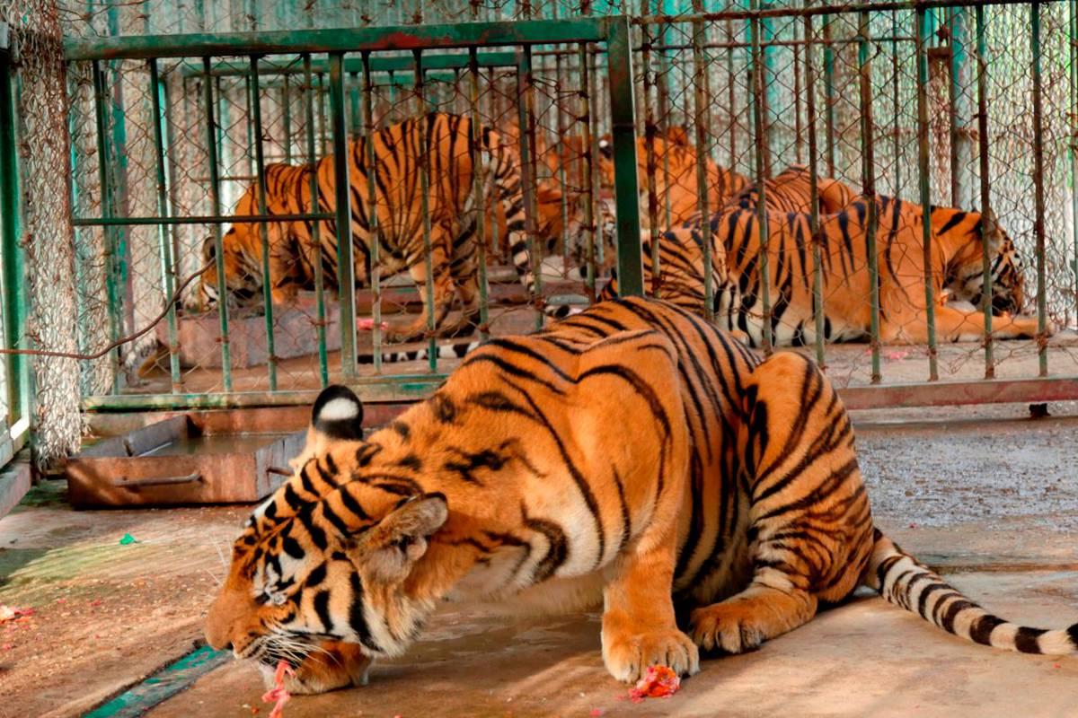 Chùm ảnh: Chăn nuôi hổ trái phép – vấn nạn lớn ở Đông Nam Á