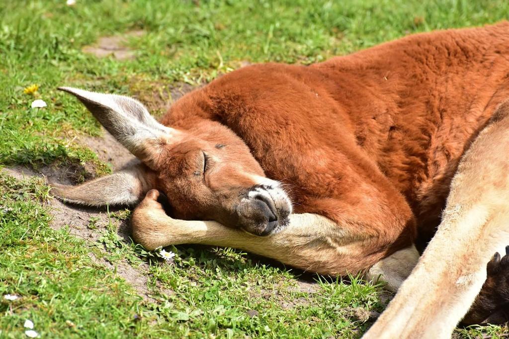 Nghich ly kangaroo - bieu tuong quoc gia bi de xuat cho len ban nhau hinh anh 10