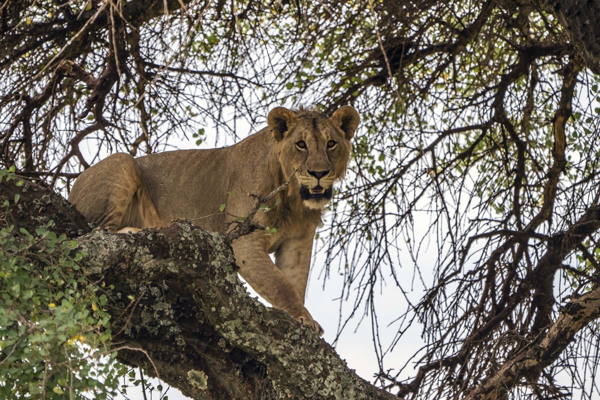 Chùm ảnh: Tanzania – nơi con người chung sống hòa thuận với sư tử