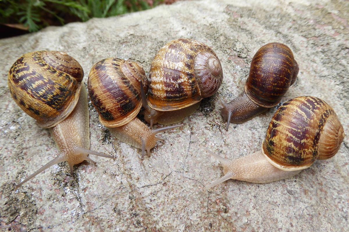 Chùm ảnh: Escargot – đặc sản ốc sên nổi tiếng của người Pháp