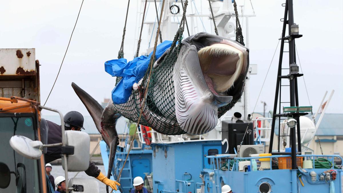 Chùm ảnh: Sau 31 năm, Nhật Bản lại đánh bắt cá voi vì mục đích thương mại