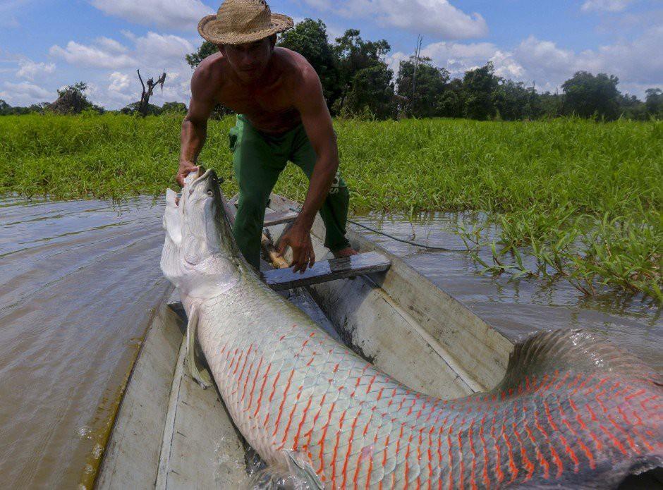 Chùm ảnh: Một ngày đi săn cá pirarucu – thủy quái sông Amazon
