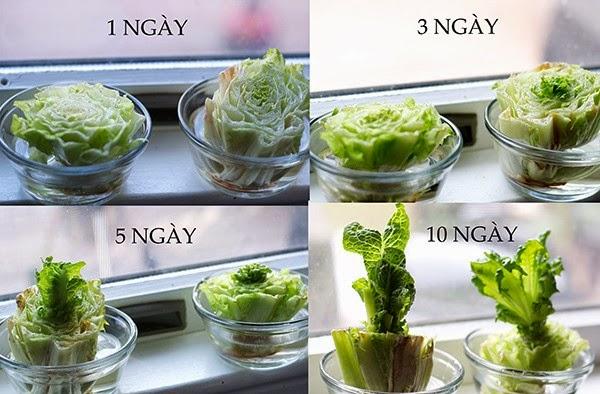 Cách biến gốc rau củ bỏ đi thành cây giống ngay tại nhà bếp