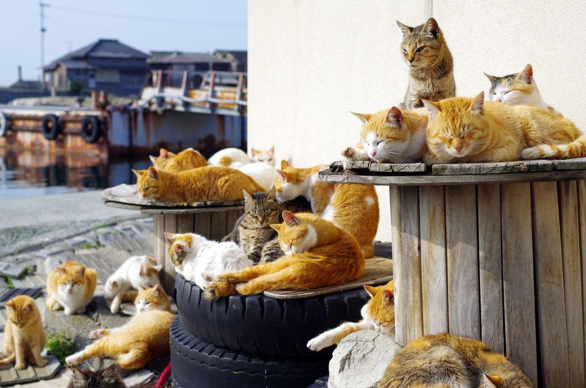 Chùm ảnh: Bí mật của những hòn đảo nhìn đâu cũng thấy mèo ở Nhật Bản