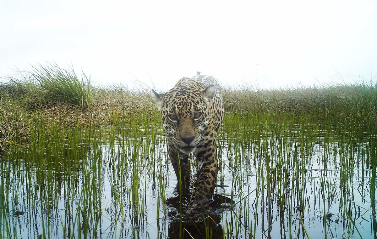 Chùm ảnh: Rừng cạn thức ăn, báo đốm Amazon xuống nước mưu sinh
