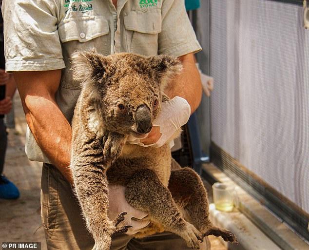 Gau Koala song sot ra sao sau vu chay rung o Australia hinh anh 6 01.jpg