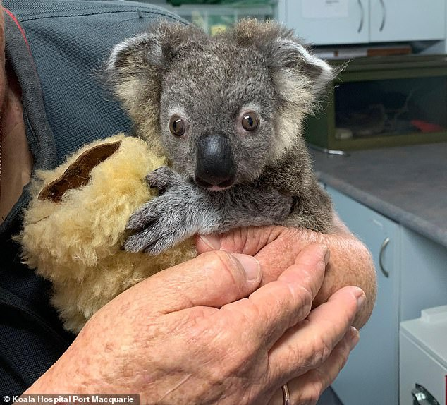 Gau Koala song sot ra sao sau vu chay rung o Australia hinh anh 5 02.jpg