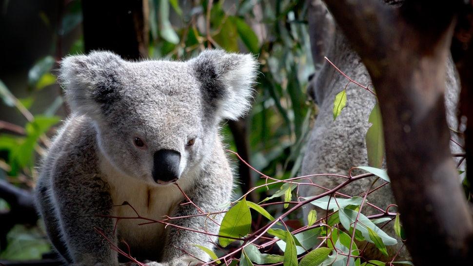 Gau Koala song sot ra sao sau vu chay rung o Australia hinh anh 2 9222d346_698e_4272_9db5_b08f5d57e07e_getty_1191135603.jpg