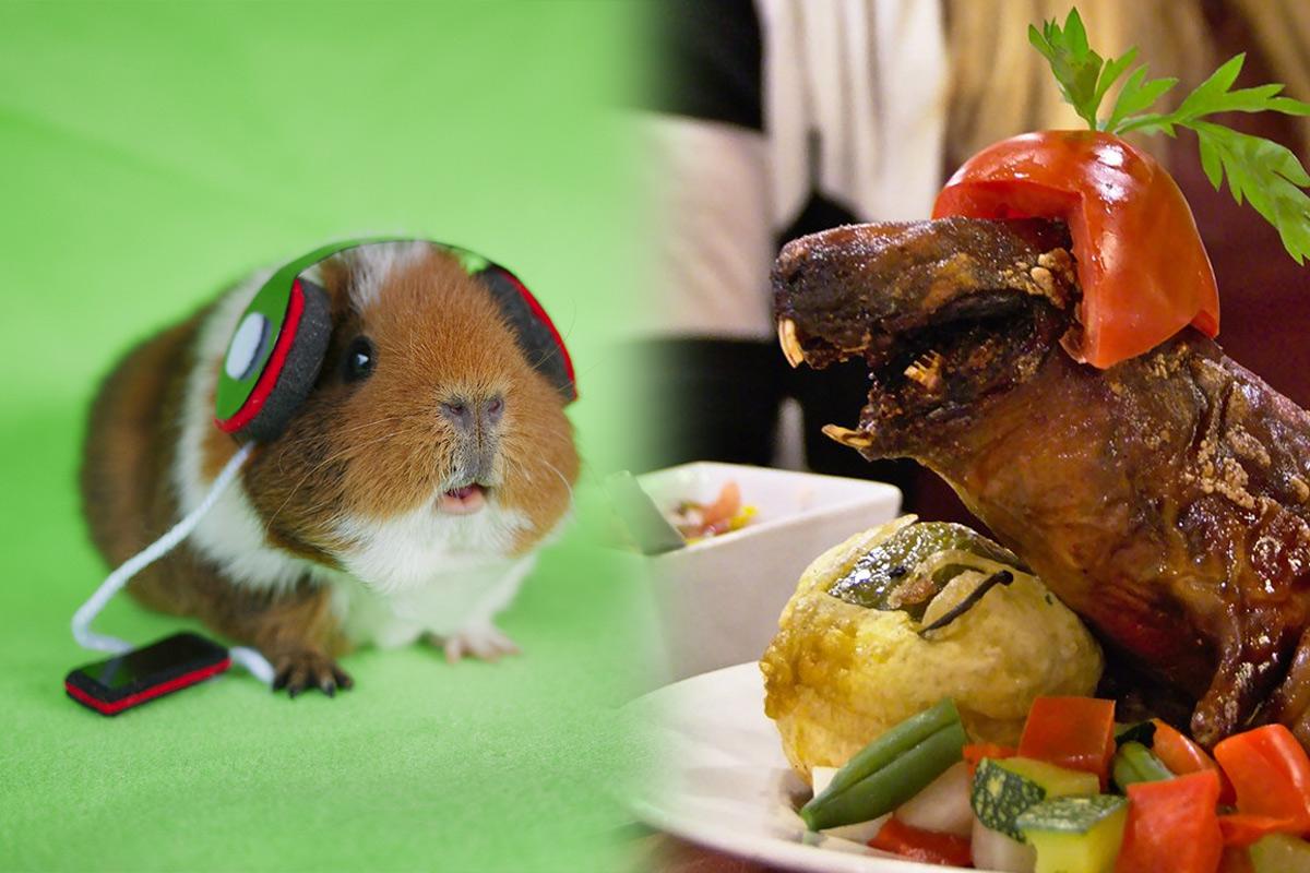 Chùm ảnh: Chuột lang – thú cưng dễ thương, đặc sản phải xơi thử ở Nam Mỹ