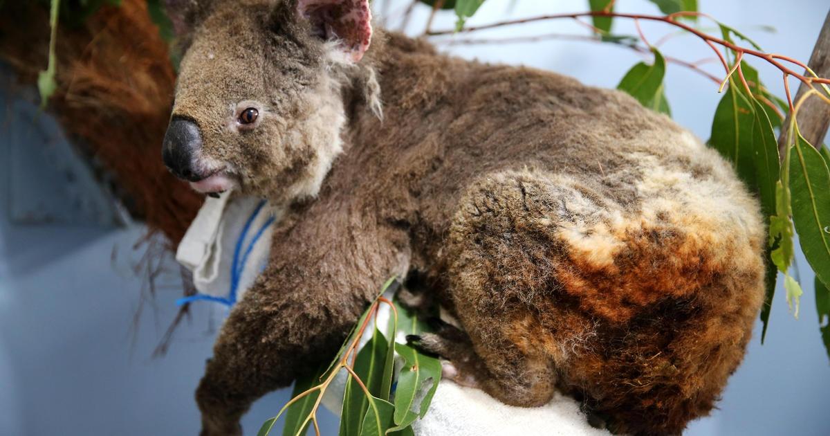 Gau Koala song sot ra sao sau vu chay rung o Australia hinh anh 1 Kolalas.jpg