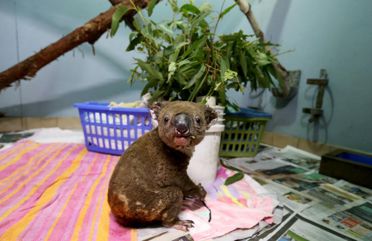 Chùm ảnh: Bi kịch của gấu koala trong thảm họa cháy rừng ở Australia