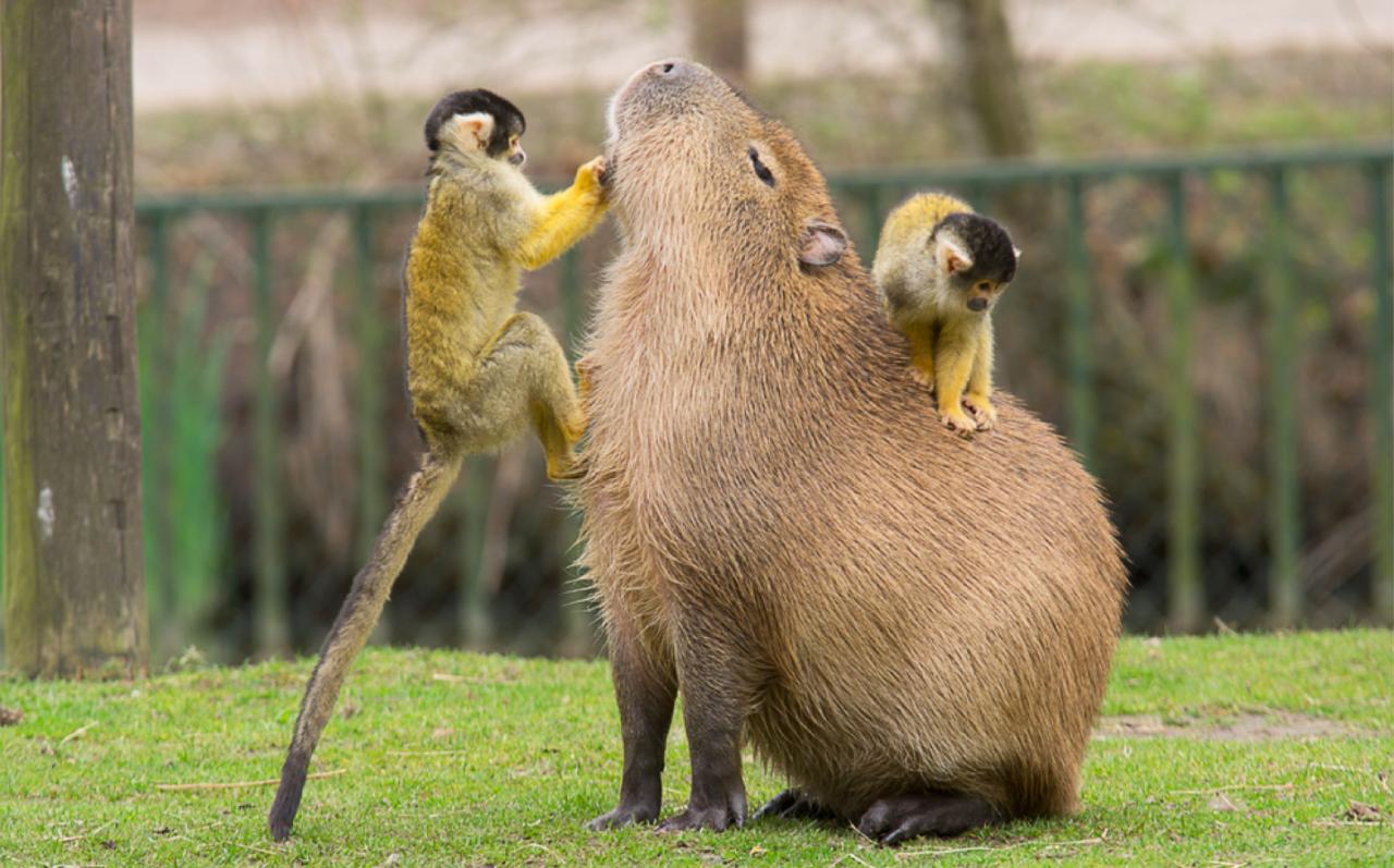 Chùm ảnh: Những điều thú vị về Capybara – loài chuột to như con lợn