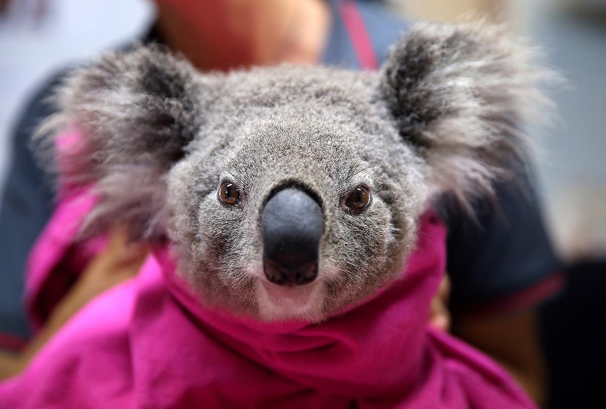 Gau Koala song sot ra sao sau vu chay rung o Australia hinh anh 4 koala_1.jpg