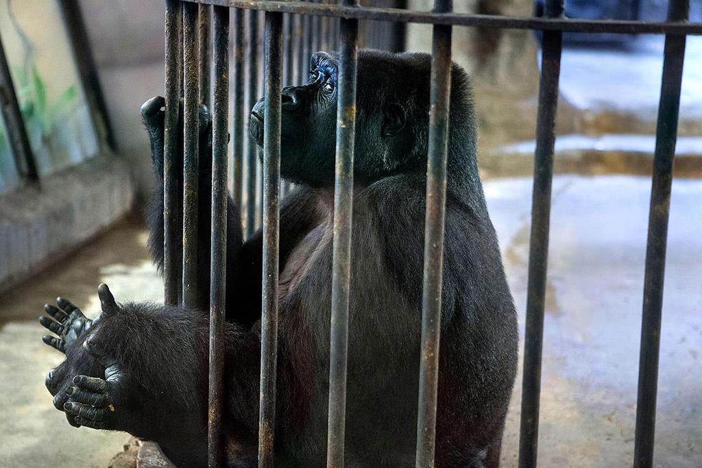 Bi kịch của các loạt vật bị nhốt trong sở thú