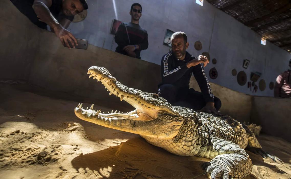 Chùm ảnh: Thuần hóa cá sấu – nghề độc đáo của người Nubia