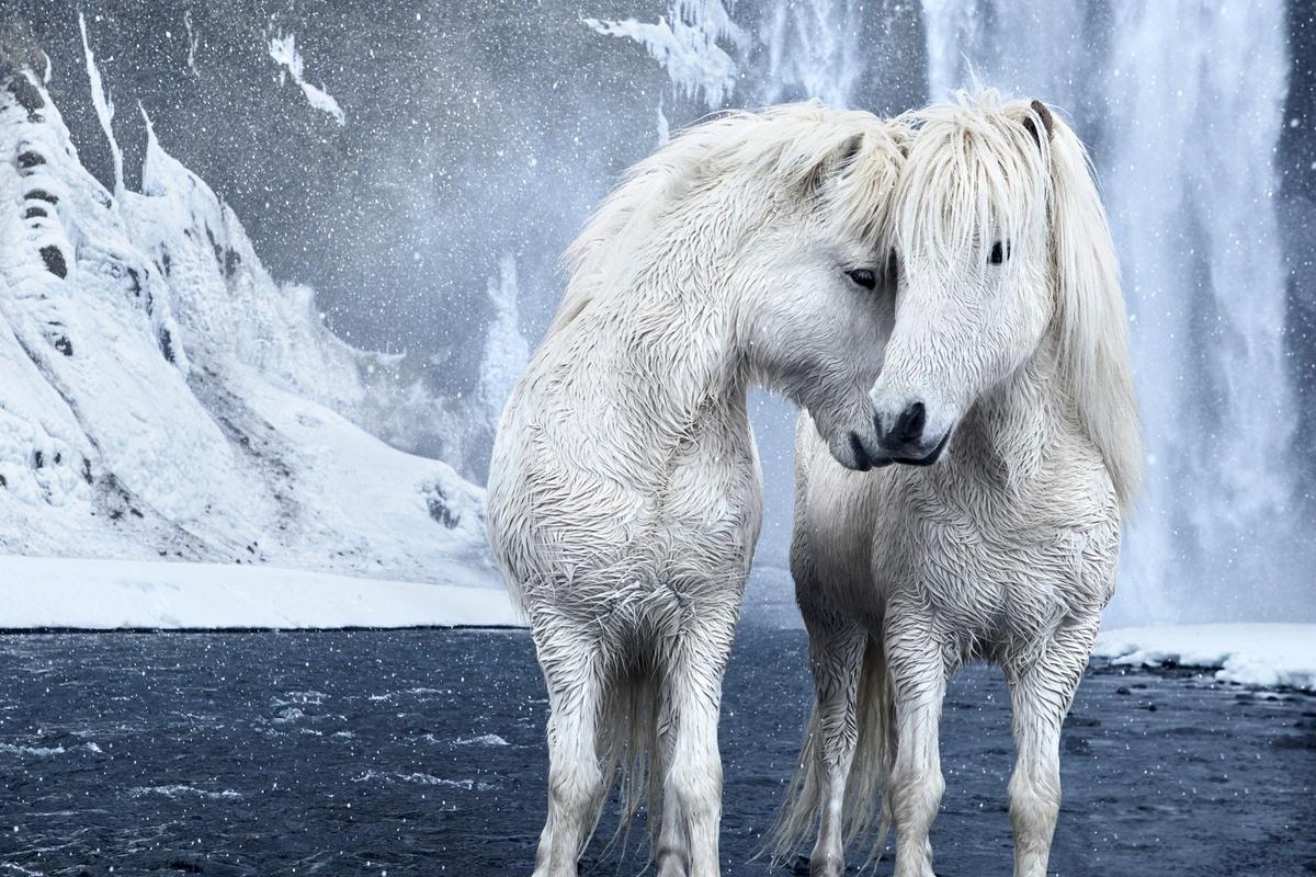 Chùm ảnh: Giống ngựa nòi sống tách biệt thế giới 1.000 năm ở Iceland
