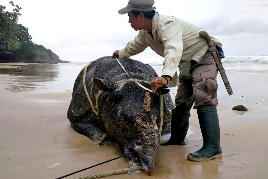 Bi kịch của những con tê giác Java cuối cùng ở Indonesia