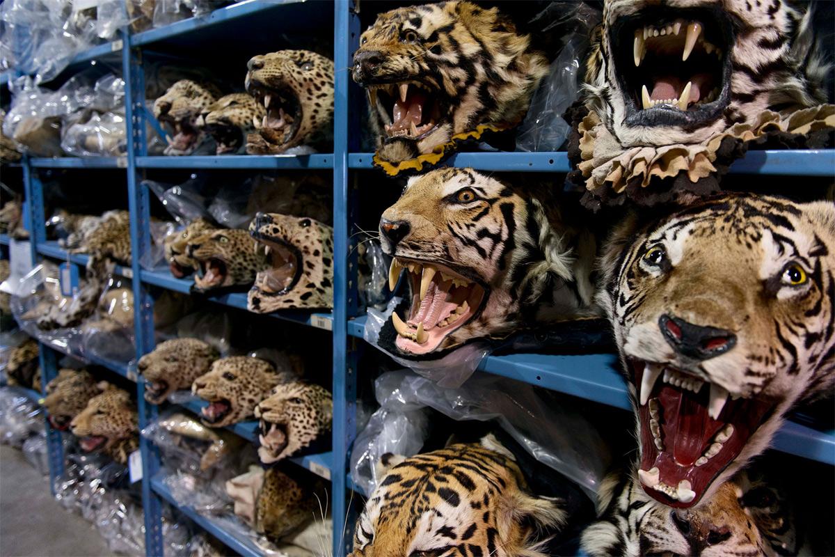 Bài học đau đớn từ sự tuyệt chủng của loài hổ ở ở Lào