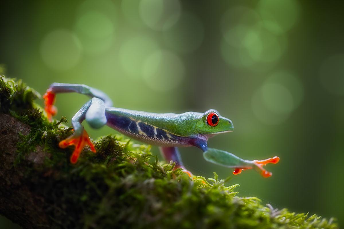 Chùm ảnh: Ếch xanh mắt đỏ – loài ếch đẹp nhất quả đất