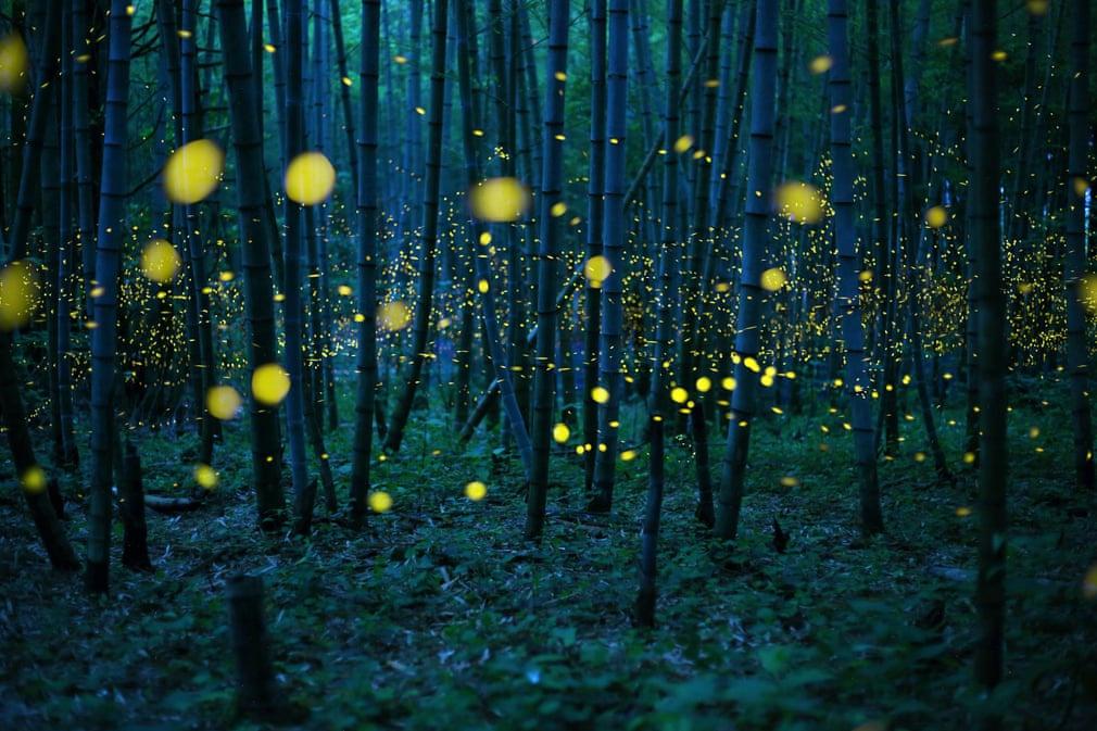 Chùm ảnh: Ánh sáng huyền ảo trong mùa đom đóm ở Nhật Bản
