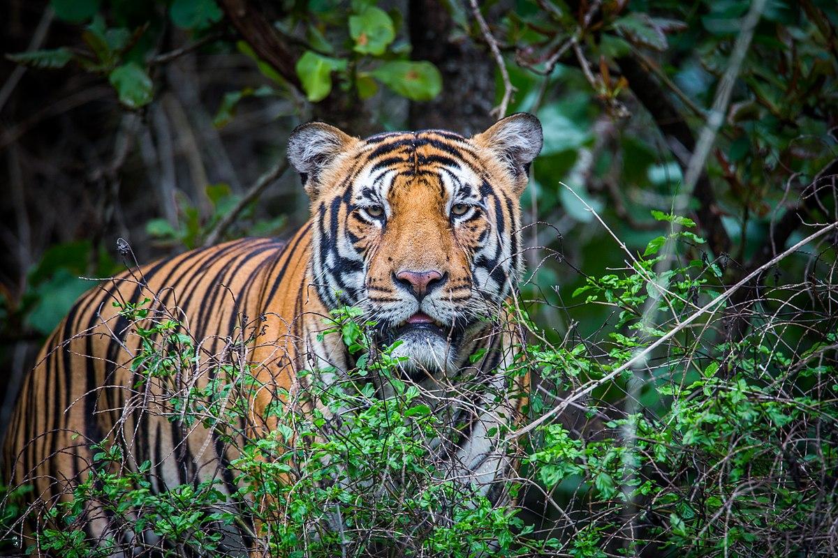 Bài học từ sự thành công trong việc bảo tồn loài hổ ở Ấn Độ