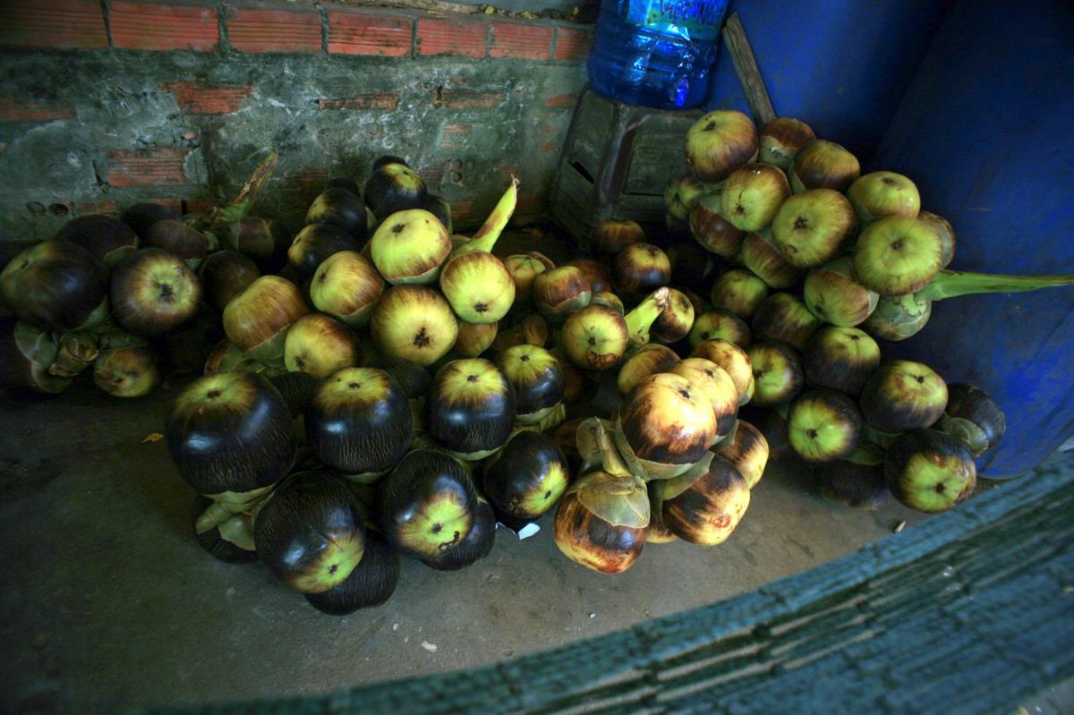Chùm ảnh: Thốt nốt – loài cây độc đáo của miền Tây Nam Bộ